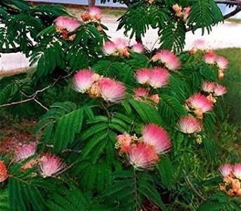 Semillas mimosa arbol de seda albizia plantas jardin for Arboles de flores para jardin