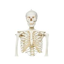 3b Scientific A10 Plástico Esqueleto De Stan En Pélvico Mo