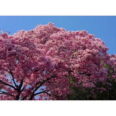 Semilla de rbol de flor de primavera hermoso - Rododendro arbol ...