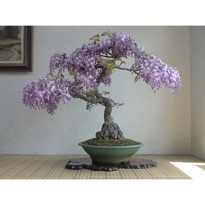 Semillas wisteria bonsai sakura en mercado libre - Como se cuida un bonsai ...